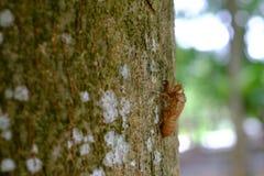 cicala Fotografia Stock