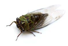 Cicala annuale Fotografia Stock