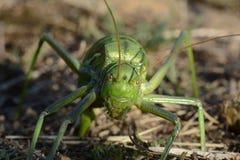 Cicala che ci esamina mentre porre eggs sulla terra Fotografie Stock Libere da Diritti