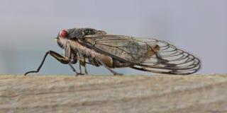 Cicala che si siede su un fascio di legno Fotografia Stock