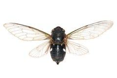 Cicala dell'insetto Immagine Stock