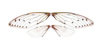 Cicala dell'insetto Fotografia Stock