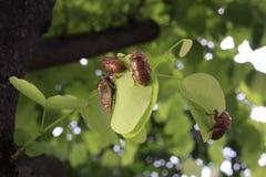 4 cicala (emittero: muta del cicadidae) che pende dalle foglie Immagini Stock Libere da Diritti