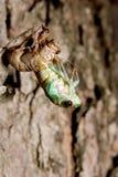 Cicala Molting Immagini Stock Libere da Diritti