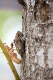 Cicala in muta Immagini Stock Libere da Diritti