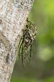 Cicala neotropicale di Fidicina Immagine Stock