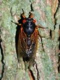 Cicala periodica (septendecim del Magicicada) Fotografie Stock