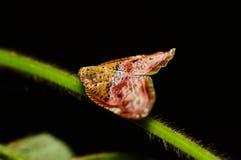 Cicala (pulverosa di Ricanula) Fotografia Stock