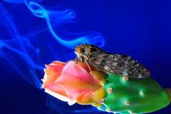 Cicala su un fiore del cactus. Fotografia Stock Libera da Diritti