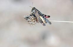 Cicala sul gambo della pianta asciutta fotografia stock libera da diritti