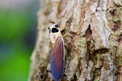 Cicala sull'albero Fotografia Stock