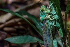 Cicala verde alla giungla del Brasile Fotografie Stock Libere da Diritti