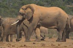 Cicatriz de la batalla del elefante africano Imagen de archivo libre de regalías