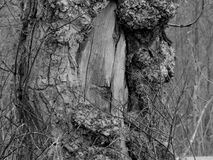 Cicatriz del Cottonwood Imagen de archivo libre de regalías