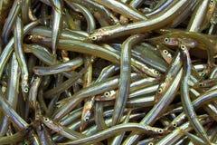 cicerelus鳗鱼gymnammodytes地中海沙子 图库摄影