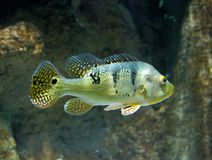 Cichla Azul river fish underwater Royalty Free Stock Images