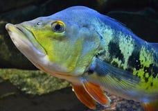 Cichla fisk Arkivbild