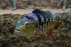 Cichla ocellaris, Pawi bas akwarium egzota ryb Obraz Stock