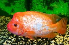 Cichlasma-Fische Lizenzfreies Stockbild