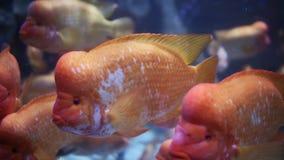 Cichlasoma citrinellum. Aquarium Dubai Mall. stock footage