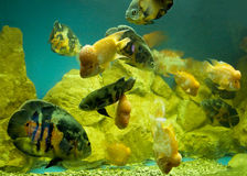 Cichlasoma citrinellum and Astronotus ocellatus Royalty Free Stock Photo