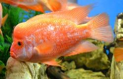 cichlasoma del pesce Fotografia Stock