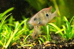 Cichlasoma ellioti, Thorichthys ellioti银鱼 免版税库存照片