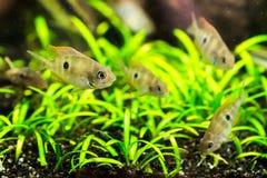 Cichlasoma ellioti, Thorichthys ellioti whitebait (Цихлаз. Photo of exotic fish in home aquarium Stock Image