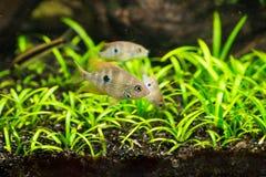 Cichlasoma ellioti, Thorichthys ellioti whitebait (Цихлаз. Photo of exotic fish in home aquarium Stock Photo