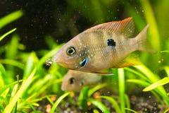 Cichlasoma ellioti, Thorichthys ellioti whitebait (Цихлаз. Photo of exotic fish in home aquarium Royalty Free Stock Image