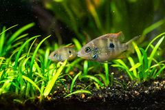Cichlasoma ellioti, Thorichthys ellioti whitebait (Цихлаз. Photo of exotic fish in home aquarium Stock Photography