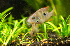 Cichlasoma ellioti, Thorichthys ellioti whitebait. Photo of exotic fish in home aquarium Royalty Free Stock Photos