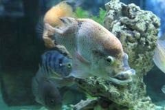Cichlasoma fish, cichlid Royalty Free Stock Images