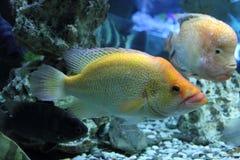 Cichlasoma fish, cichlid Royalty Free Stock Photo