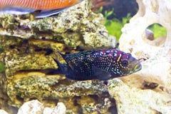 Cichlasoma octofasciatum in aquarium Stock Photography