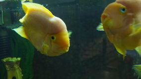 Cichlasoma parrot Aquarium fish. Cichlasoma parrot swimming. Aquarium fish stock video