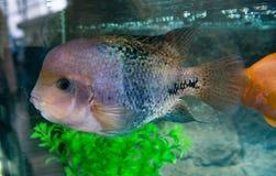 Cichlasoma rainbow or Vieja synspilum Cichlasoma sensillum is a aquarium fish royalty free stock images