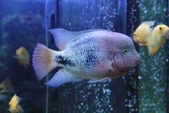 Cichlasoma salvini fish Stock Images