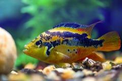 Cichlasoma Salvini swims in the clear beautiful aquarium. Gorizontal photo royalty free stock photo