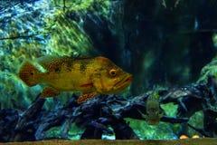 Cichlasoma tropicale Meeki del pesce Vista dal lato fotografie stock libere da diritti