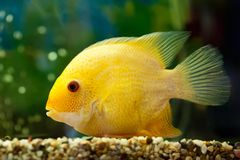 Cichlasomaseverum van vissen Royalty-vrije Stock Fotografie