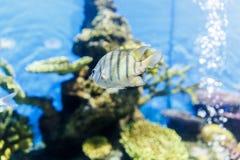 Cichlid, ψάρια ενυδρείων που κολυμπά στο ενυδρείο στοκ εικόνα