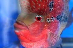 Cichlid Lizenzfreies Stockfoto
