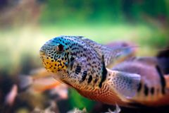 Cichlid Royalty Free Stock Photography