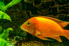 Cichlid Stock Afbeelding