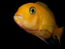 Cichlid from Africa Stock Photos