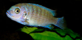 Cichlid from Africa Royalty Free Stock Image