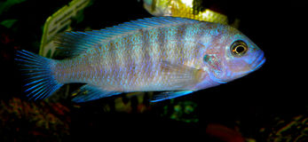 Cichlid from Africa Stock Photo