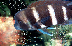 Cichlid africain de Frontosa Photo stock