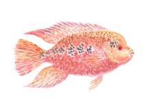 Cichlid américain rouge photos stock